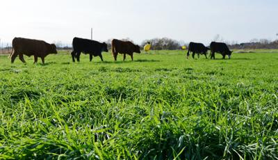 CC Calves on Ryegrass