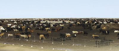 FL Pen of Cattle