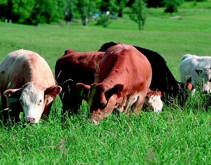 CC Cattle Grazing Generic