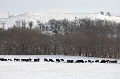 CC Winter Cows Bale