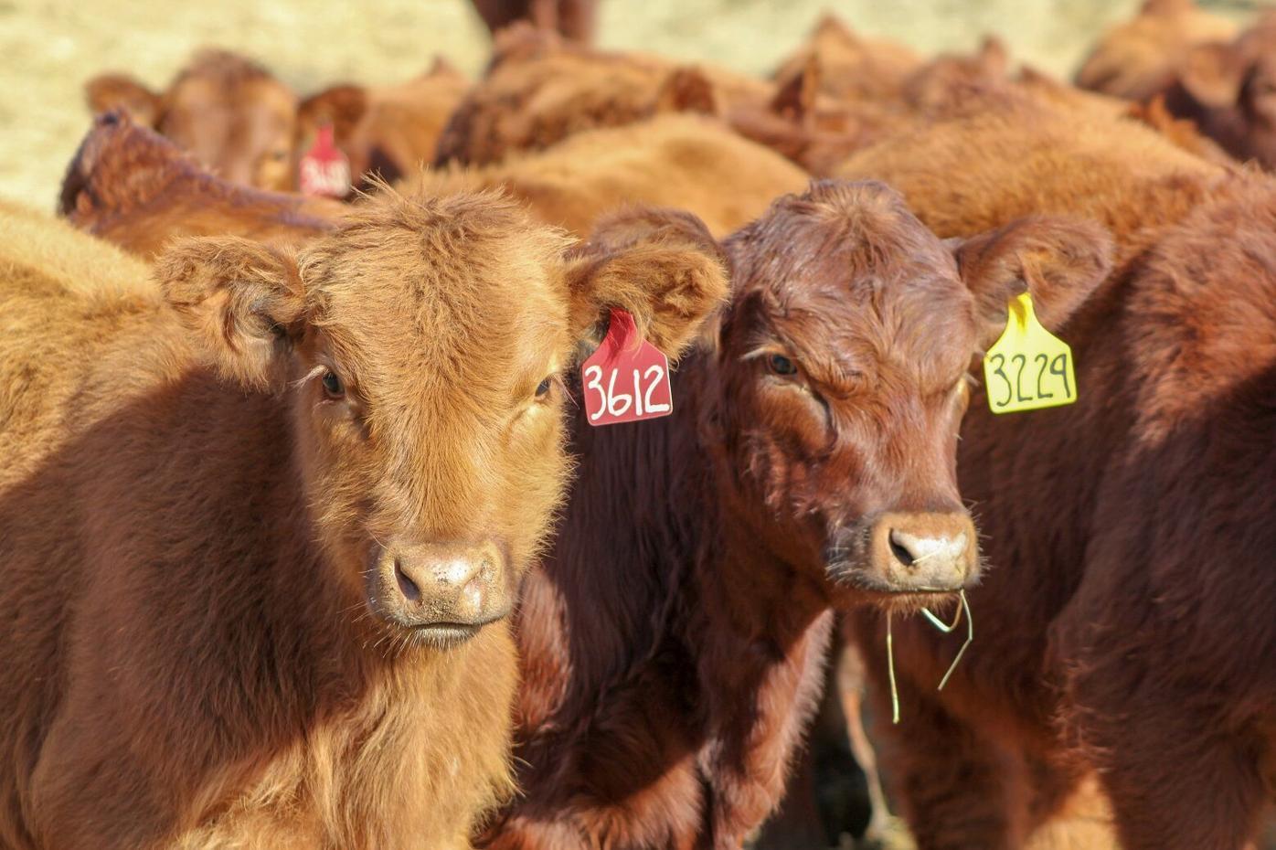 FL Feeder Calves New