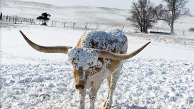 longhorn in snow-UNL photo.jpg