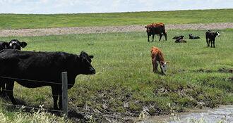 CC Cattle in Pasture