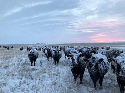 CC Cows in Winter