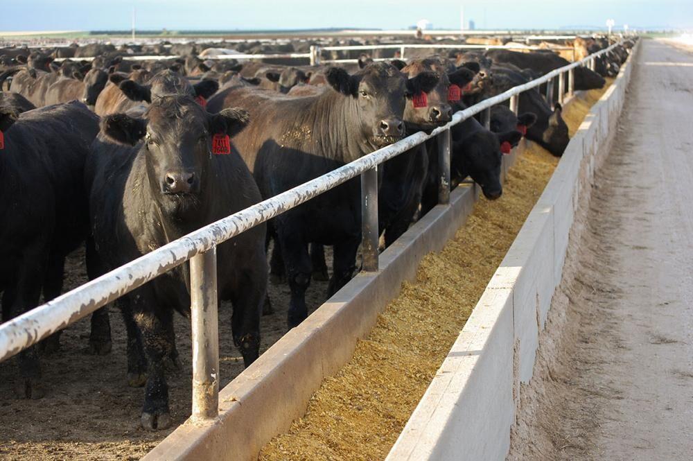 FL Feeder Cattle