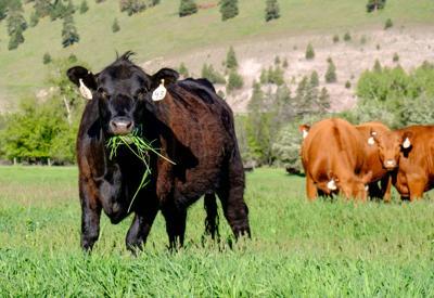 CC Cow on Grass