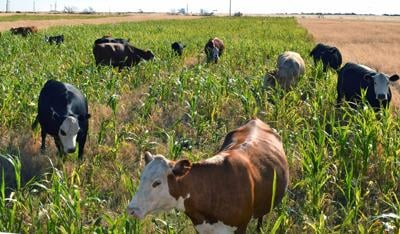 CC Cows on Cover Crop