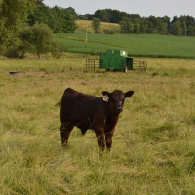 How to Start Creep Feeding Your Calves
