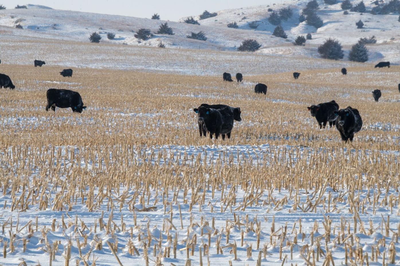 CC Cows on Stalks