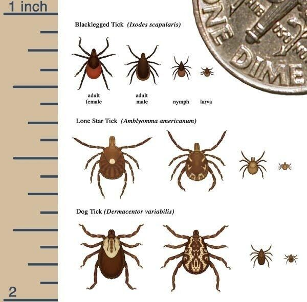 Tick Graphic