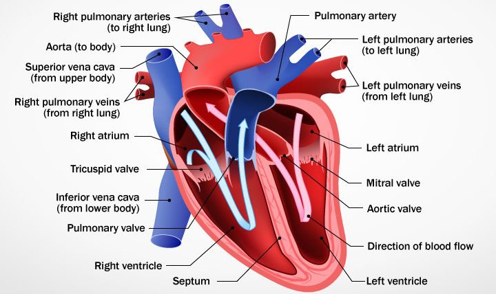 How the heart works a detailed overview healthworks diagram showing the heart and how it works ccuart Images
