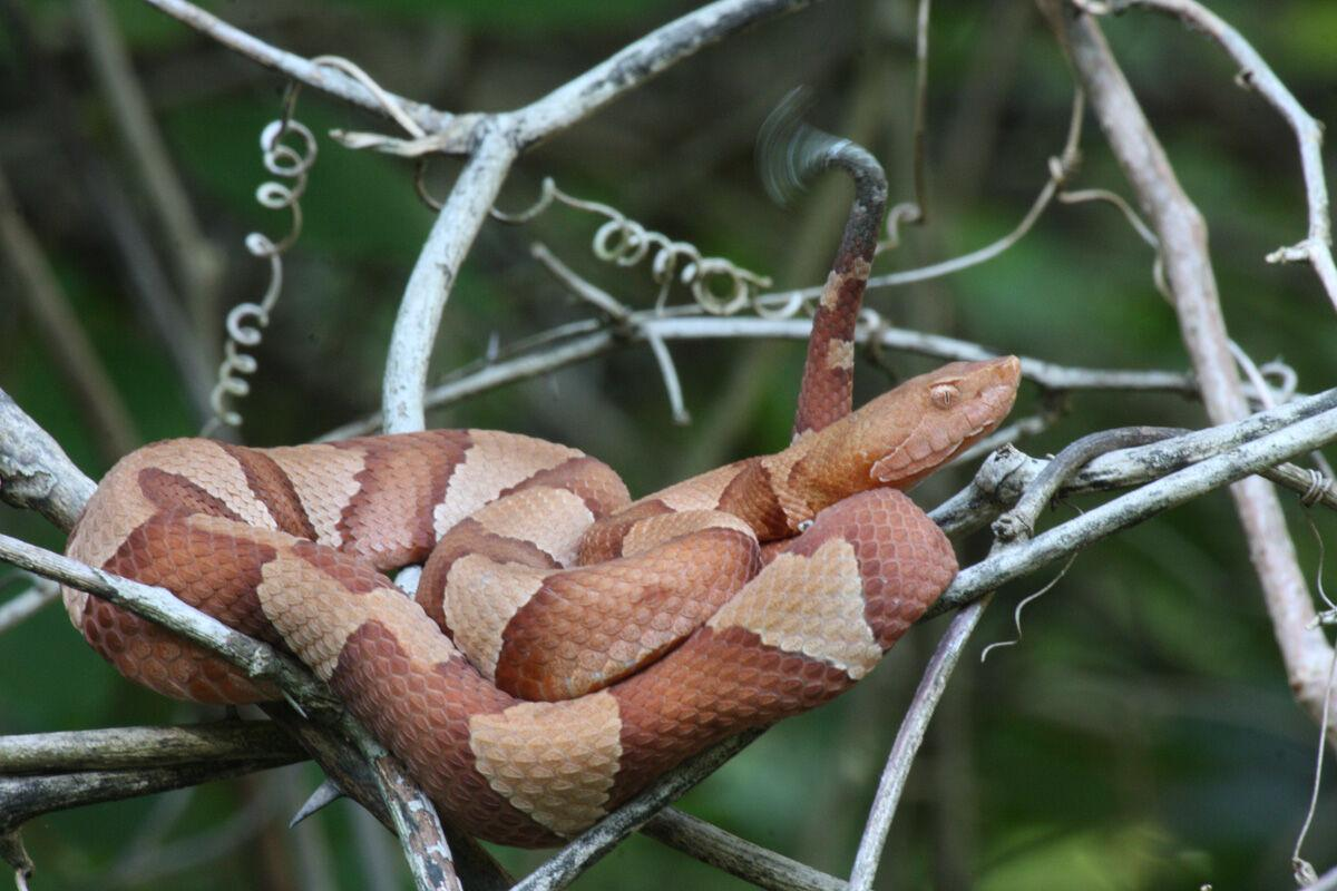 Copperhead with moving green-tail web.jpg