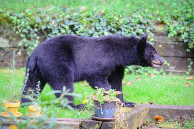 bear sightings on the rise in frederick county environment. Black Bedroom Furniture Sets. Home Design Ideas