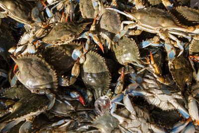 Chesapeake-Blue Crabs