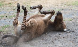 Zebra? Donkey? Both