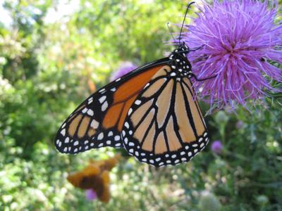 Monarch Butterfly (copy)
