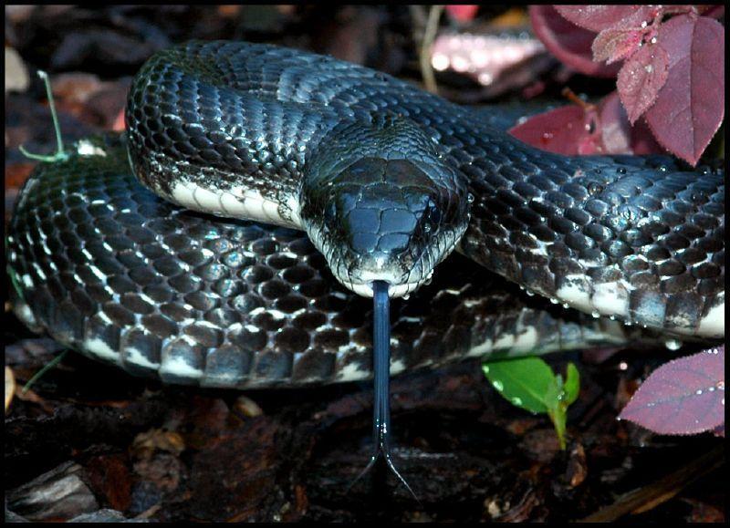 Alabama black snake - 3 part 5