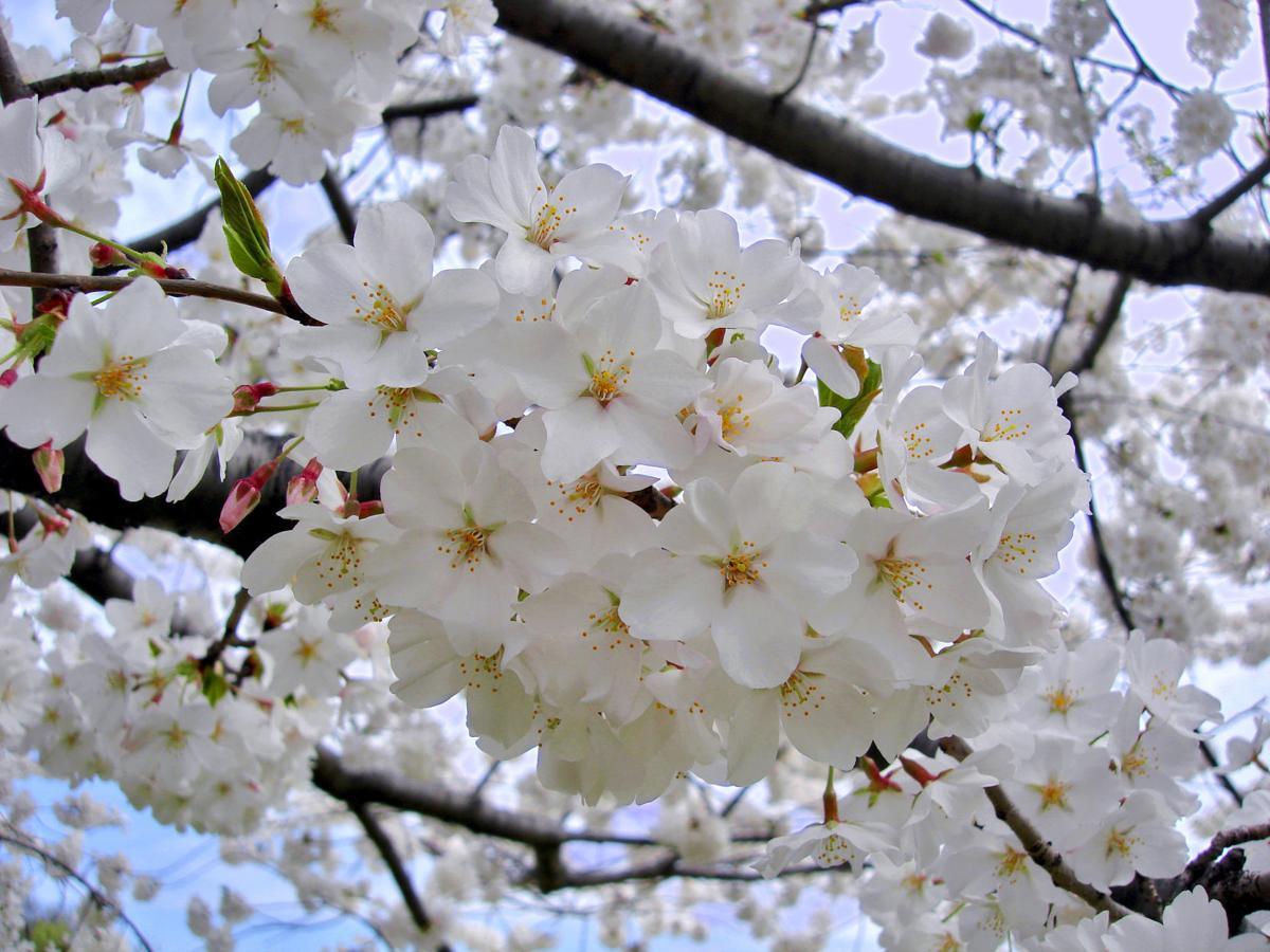 Looking Beyond The Beloved Yoshino Cherry Tree Ap Fredericknewspost Com