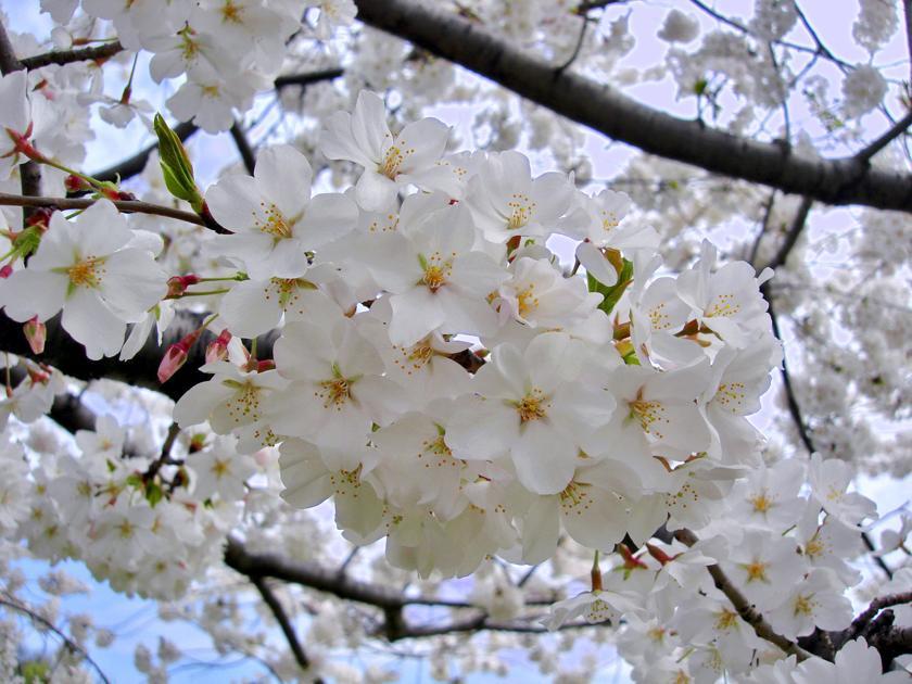 Looking Beyond The Beloved Yoshino Cherry Tree Ap