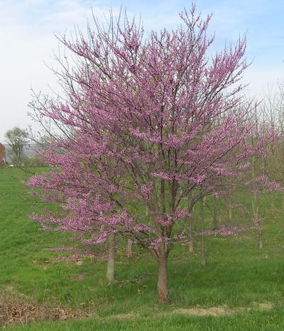 Nature Notes: Redbud