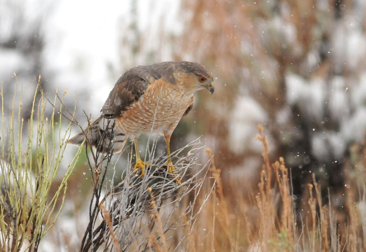 Nature Notes: Cooper's hawk