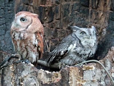 Nature Notes: Screech owl