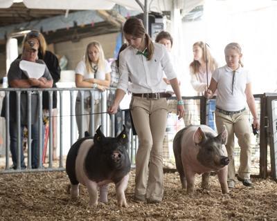 Fair swine show