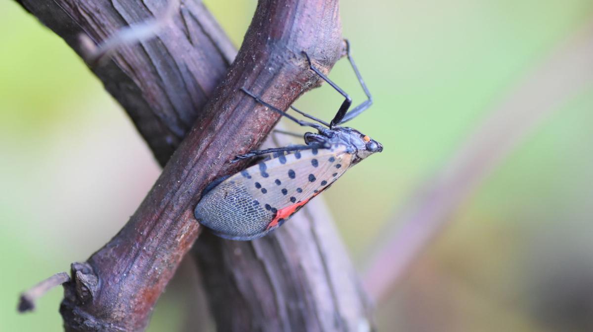 Spotted Lanternfly (copy)