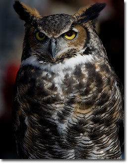 Nature Notes: Great horned owl