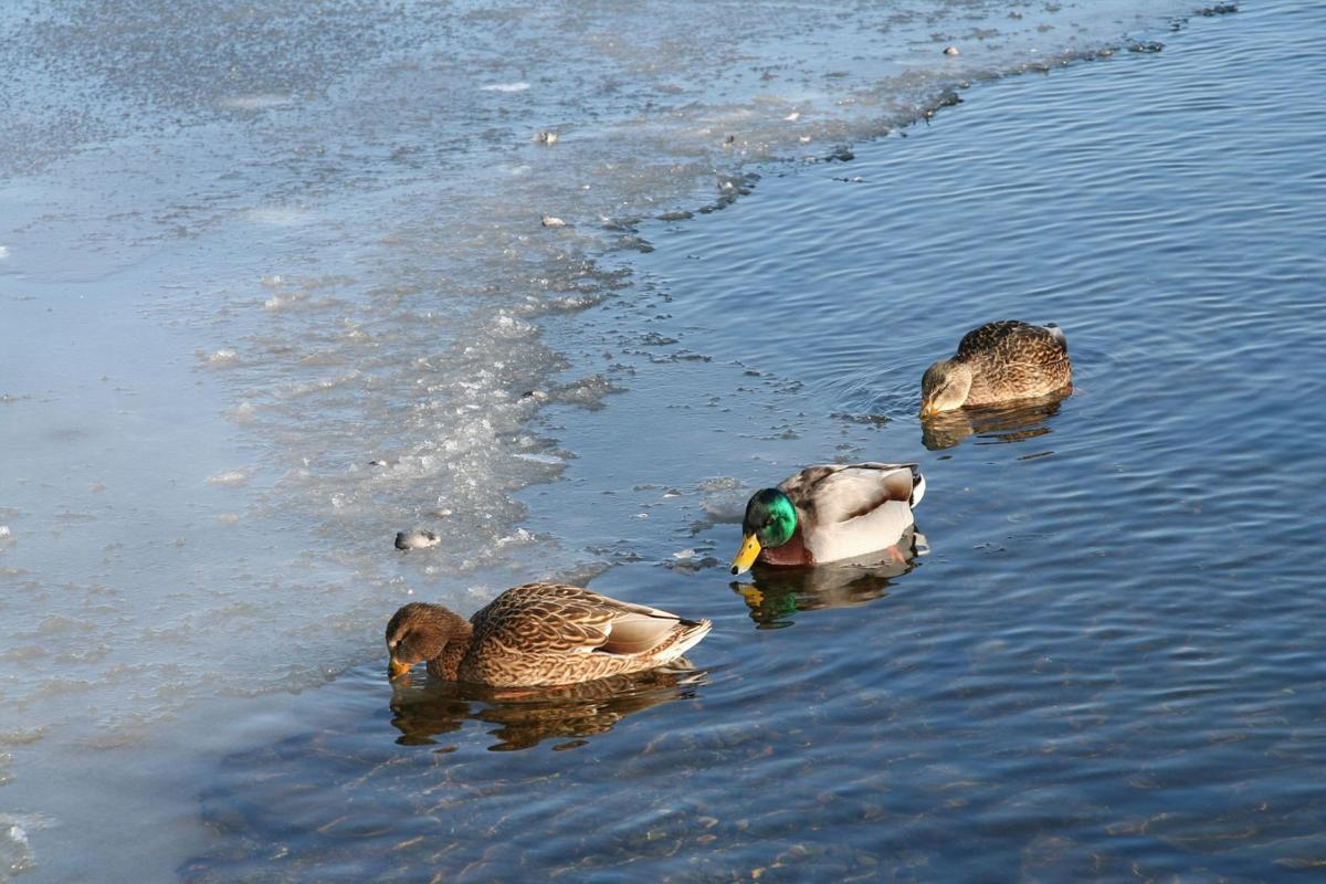 Ducks in icy water