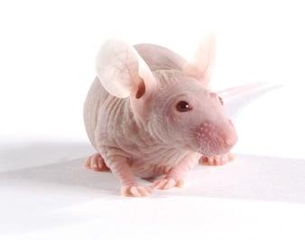 NCI terminates rodent production program