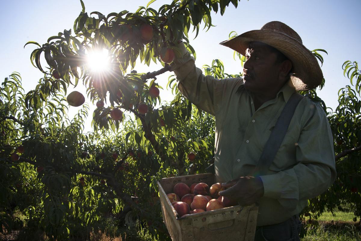 Farmers work in the heat 4
