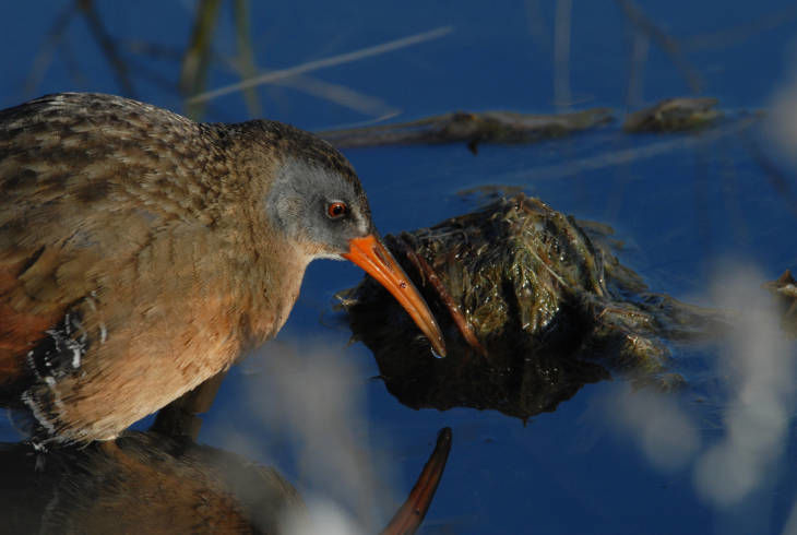From the Archives: Virginia rail