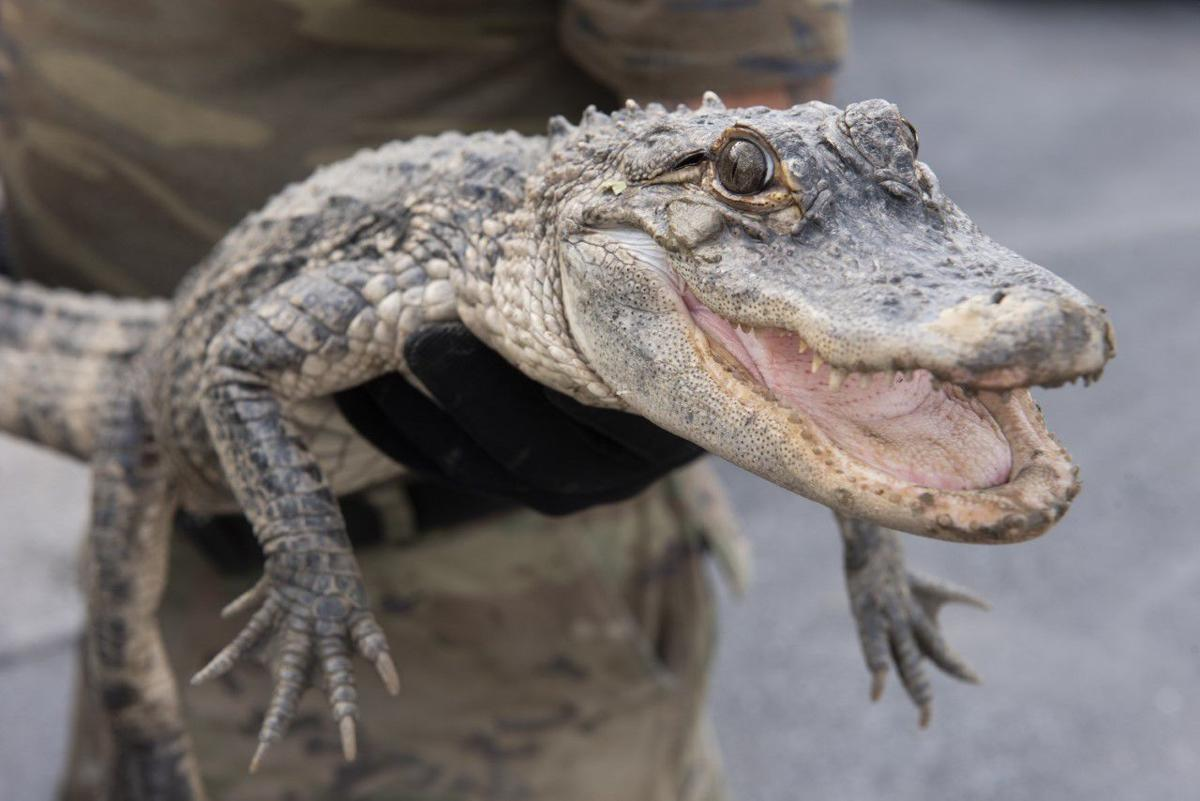 Captured gator