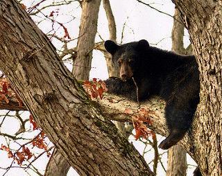 Outdoor notes: Black bear (copy)