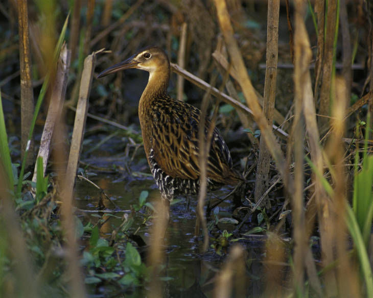 From the Archives: King rail