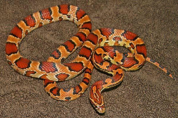 Marylands Corn Snake