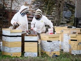 Couple hope bee technique causes swarm