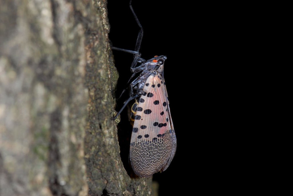 Spotted lanternfly: Newly arrived invasive insect ...