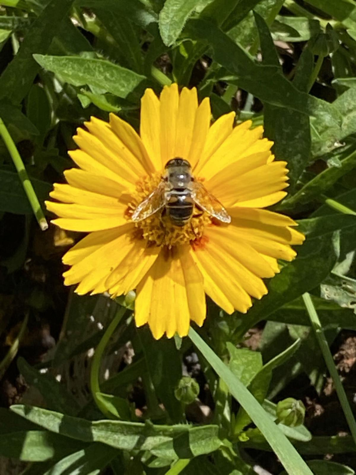 1B  bee on coreopsis.jpg