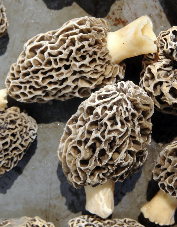 SL Hardy Morel Mushrooms 2.jpg