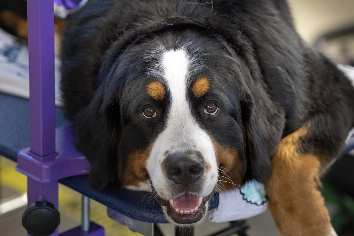 Bernese Mountain Dogs On Display At Competition In Frederick