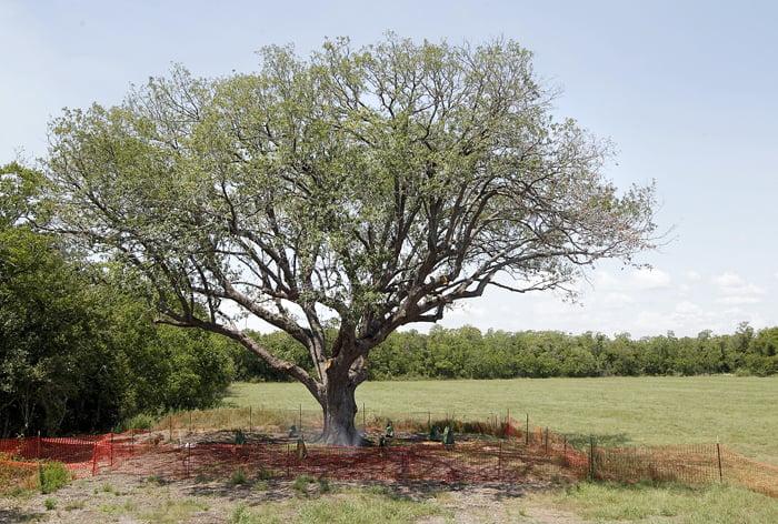 League City hires master arborists to assess Ghirardi Oak