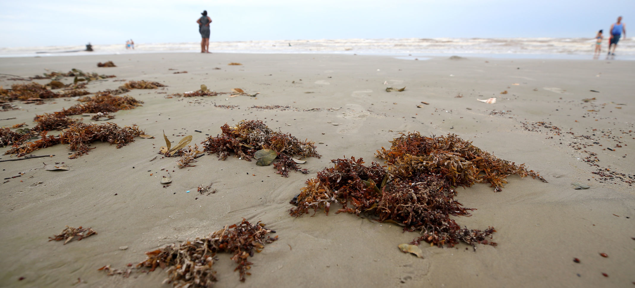 West End Galveston residents push for seaweed-cleaning permits
