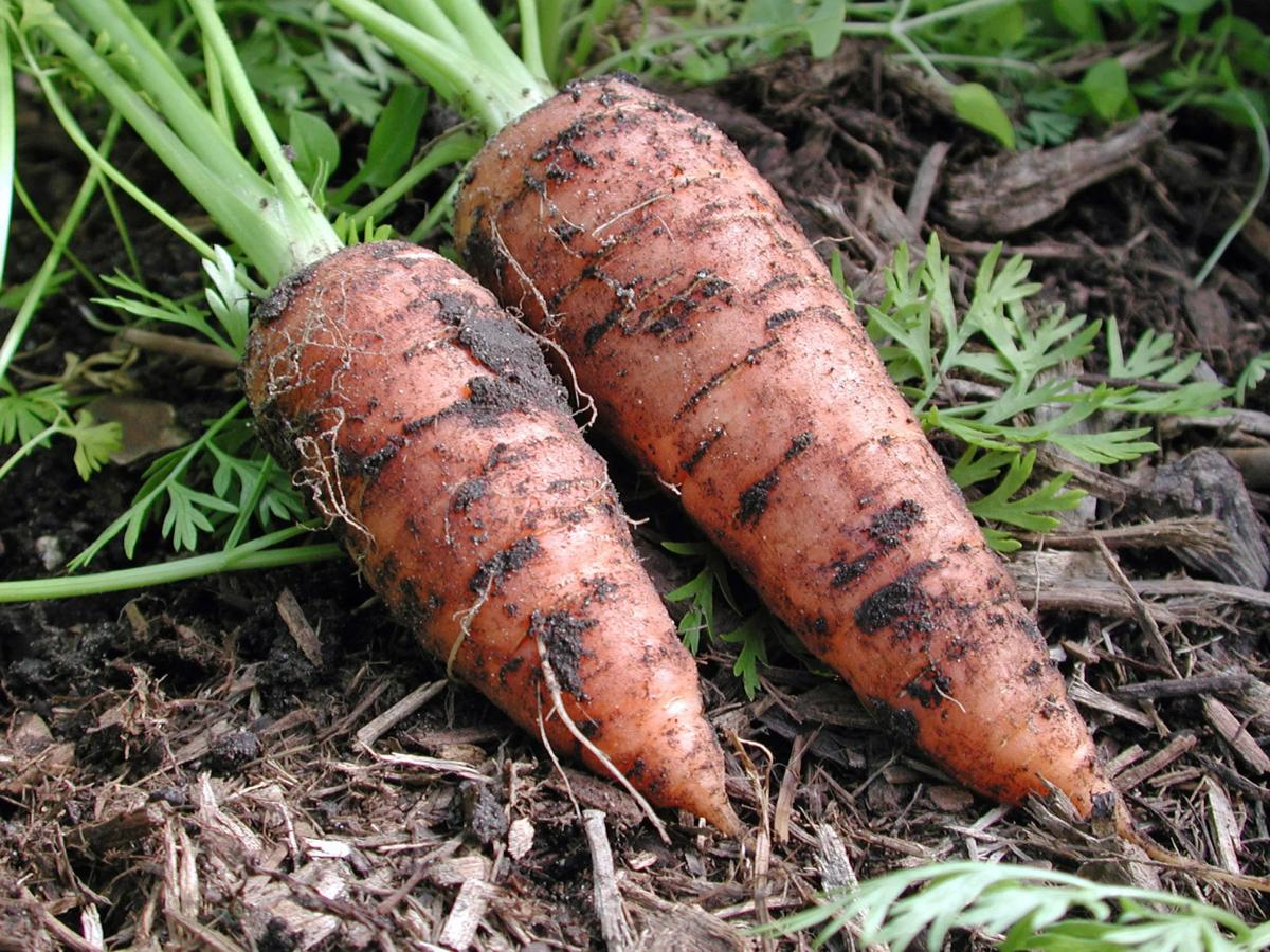 Carrots and other cool season vegetables