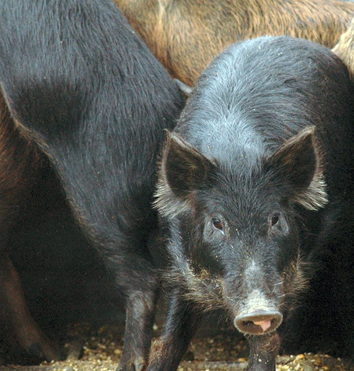 Feral pig population increases across state
