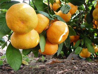 #46 (11-28-18)  _ DSCN3133 - Satsuma citrus.jpg