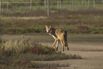 25 Things coyotes