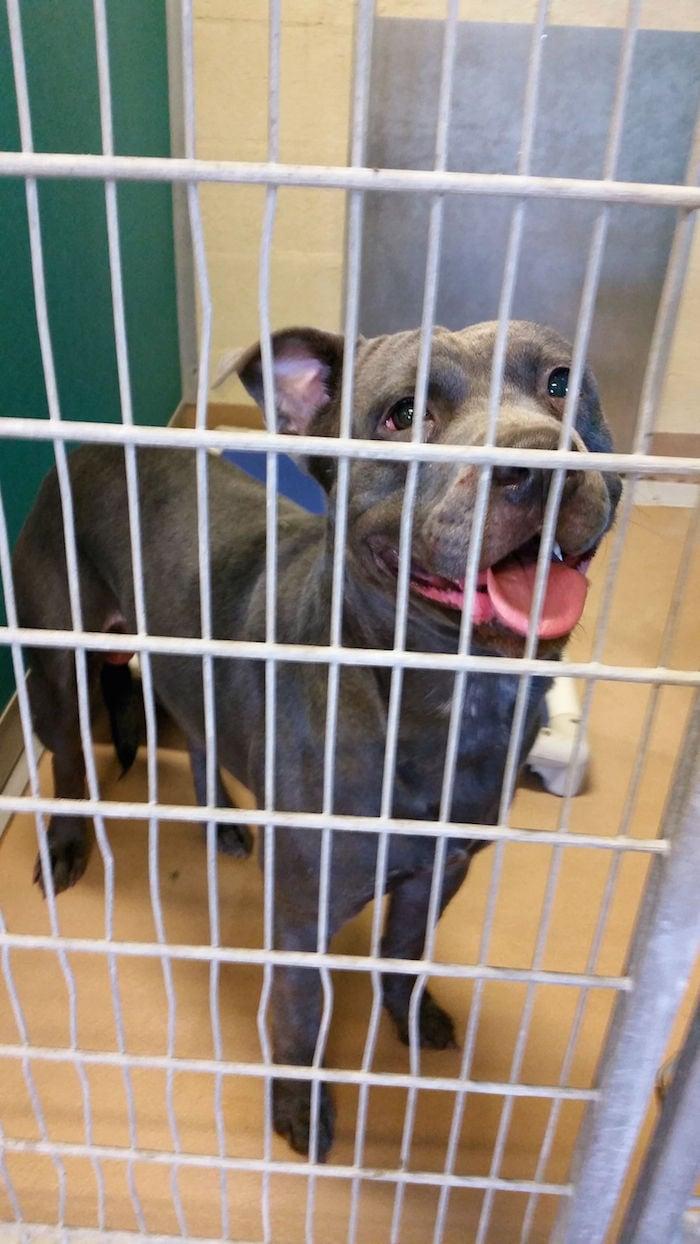 b05a1e5402f67 Texas City police report describes pit bulls  attack of beagle