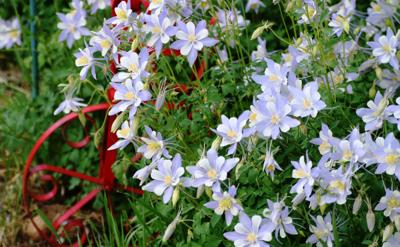 Aquilegia caerulea, Colorado Blue Columbine, Rocky Mountain Columbine